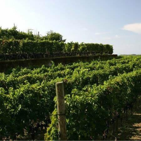 Cantine-Tommasone-Ischia-Vigneti-e-Vini