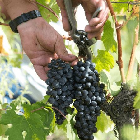 Tommasone d'Ischia: la raccolta manuale delle uve